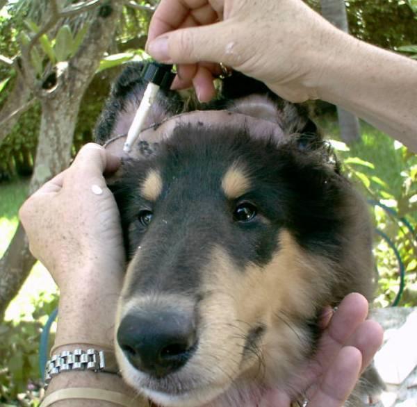 Glue the Ear Tips to the Mole Skin